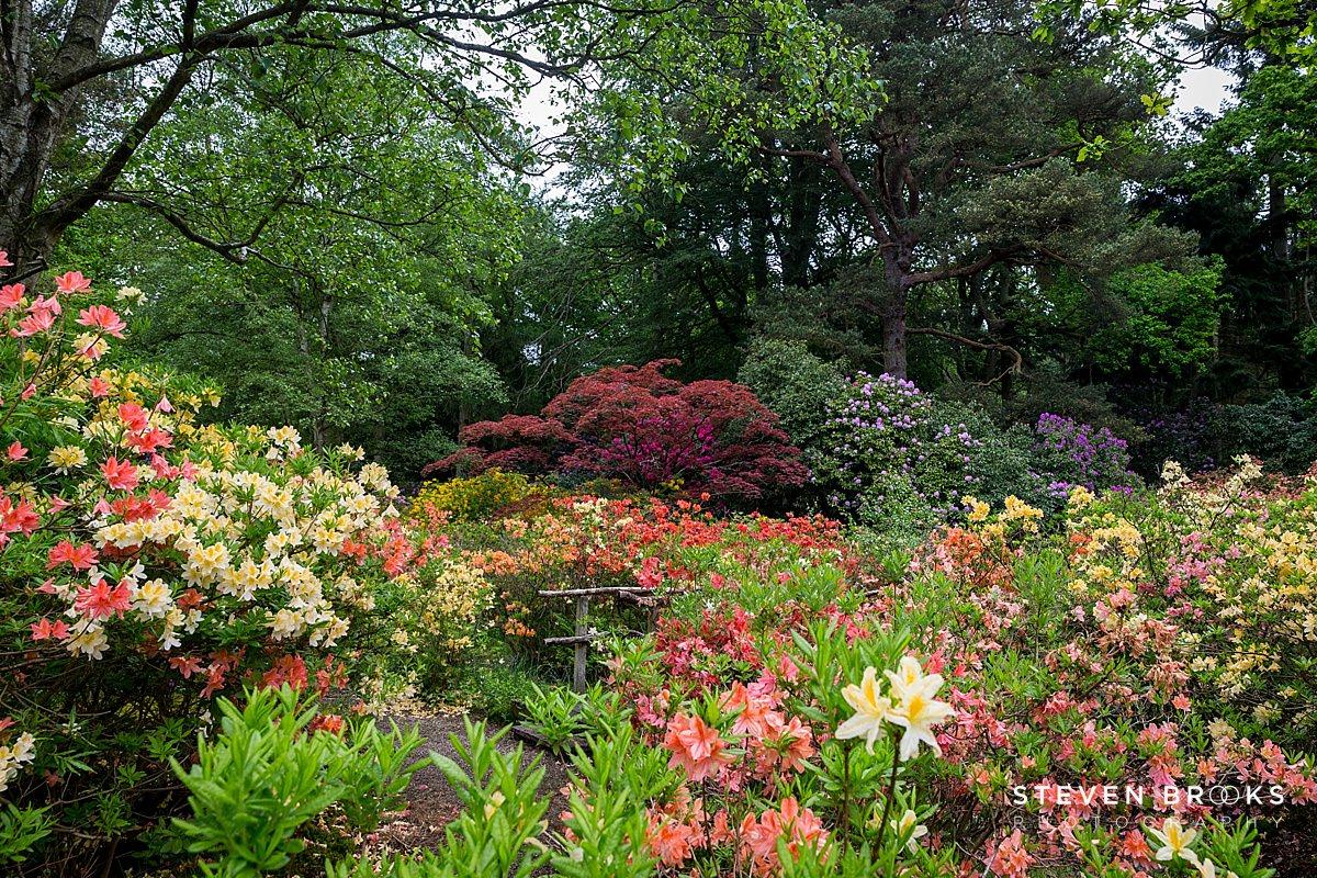 Norfolk photographer steven brooks photographs a sea of azalea on the Stody Lodge estate in Norfolk