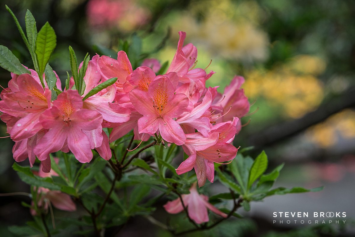 Norfolk photographer steven brooks photographs a pink azalea in the water garden on the Stody Lodge estate in Norfolk