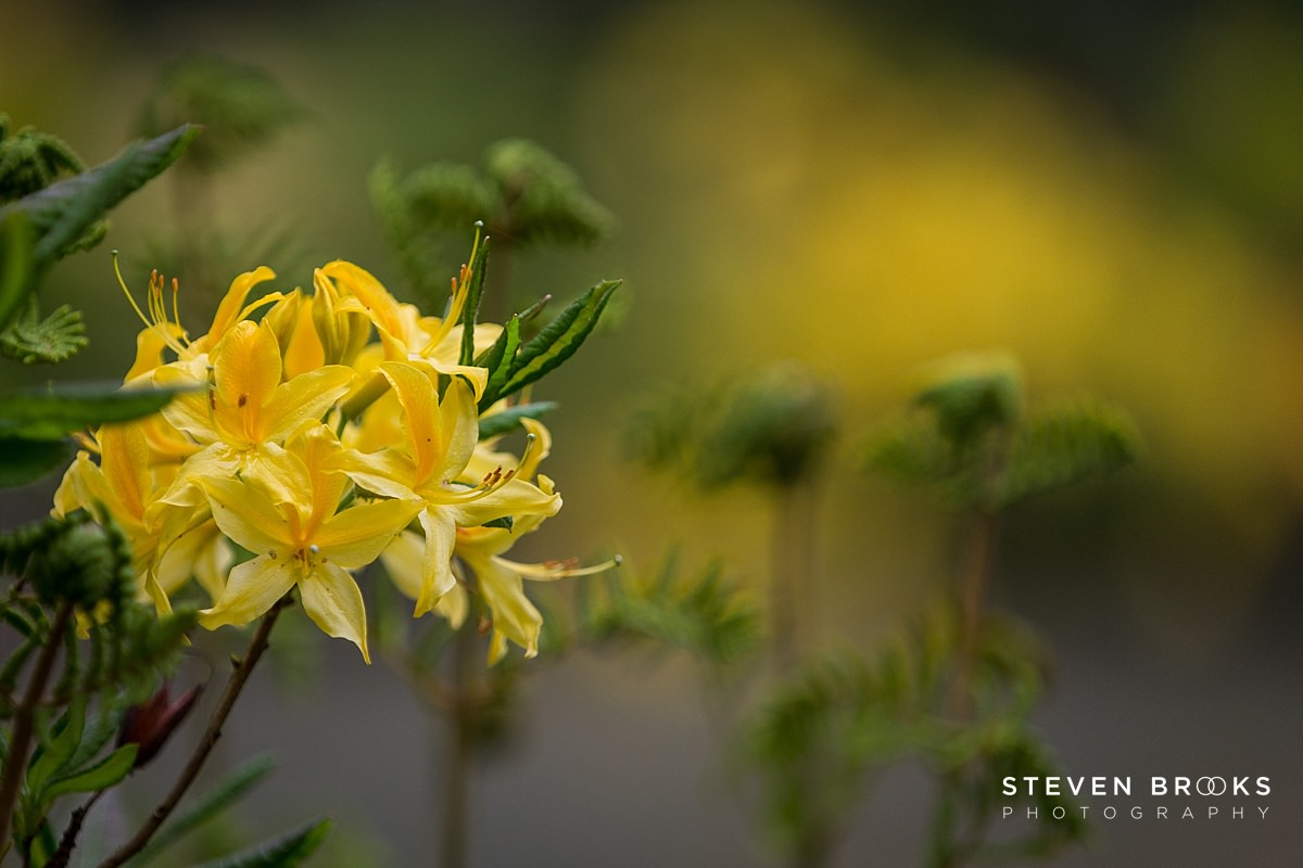Norfolk photographer steven brooks photographs a yellow azalea in the water garden on the Stody Lodge estate in Norfolk