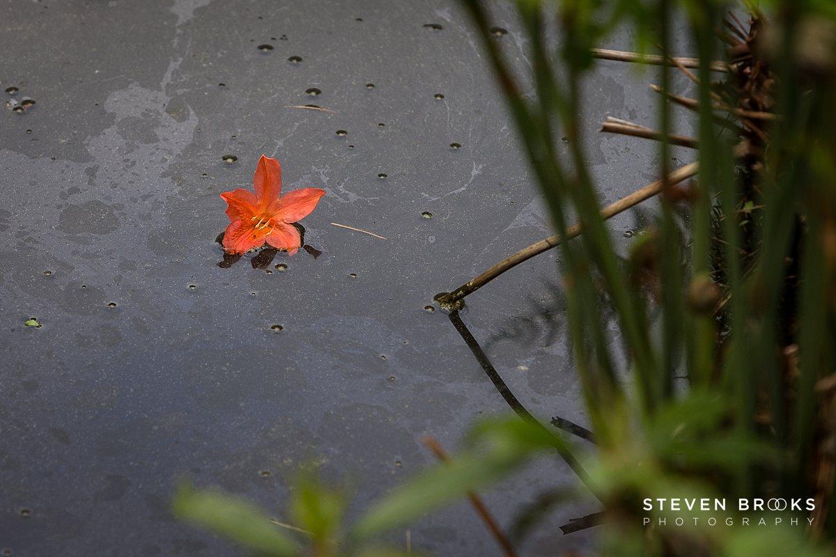 Norfolk photographer steven brooks photographs an orange azalea in the water garden on the Stody Lodge estate in Norfolk