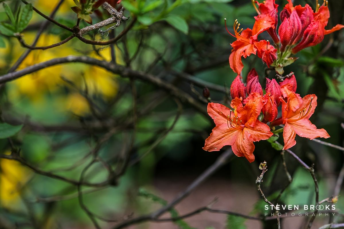 Norfolk photographer steven brooks photographs a red azalea in the water garden on the Stody Lodge estate in Norfolk