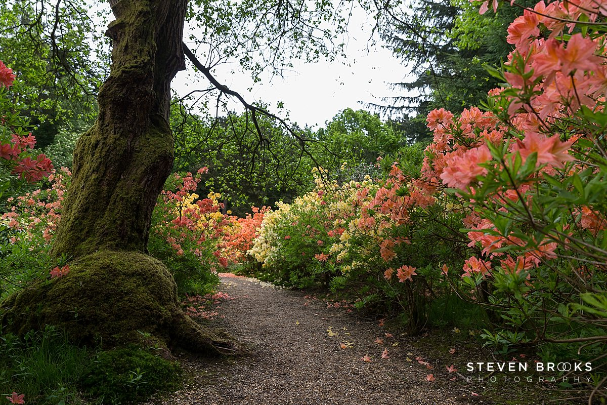Norfolk photographer steven brooks photographs a pathway in the azaleas in the water garden on the Stody Lodge estate in Norfolk