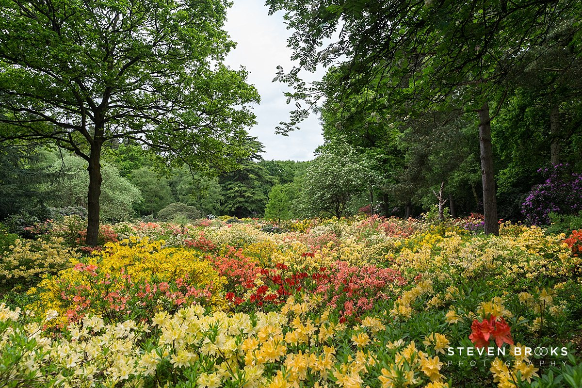 Norfolk photographer steven brooks photographs a sea azaleas in the water garden on the Stody Lodge estate in Norfolk