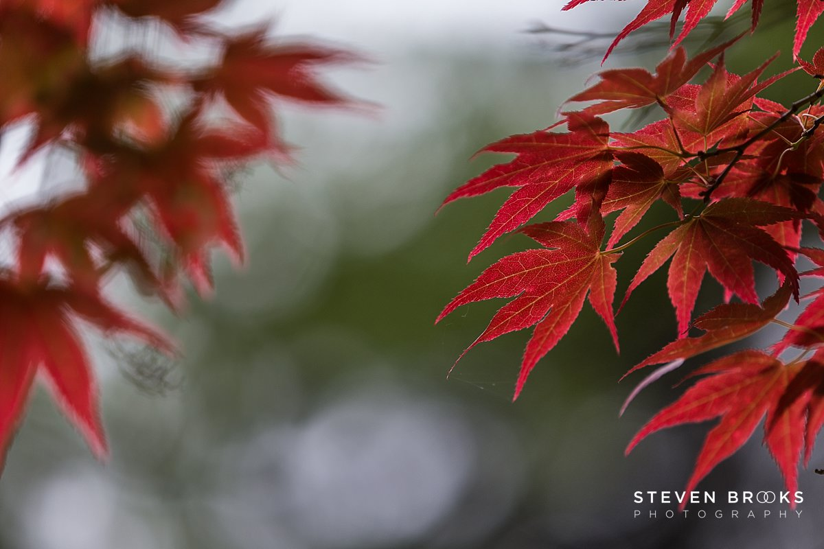 Norfolk photographer steven brooks photographs a red acer leaf in the water garden on the Stody Lodge estate in Norfolk