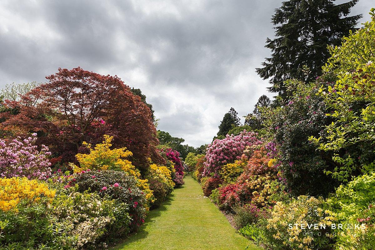 Norfolk photographer steven brooks photographs an azalea row on the Stody Lodge estate in Norfolk