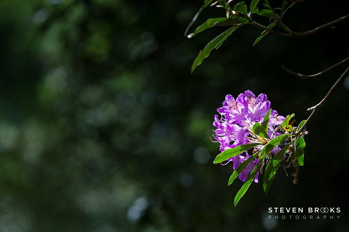 Norfolk photographer steven brooks photographs a rhodedemdrom bush on the Stody Lodge estate in Norfolk